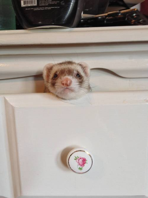 whatareyoudoingferret:  May I help you? - Imgur What are you doing?