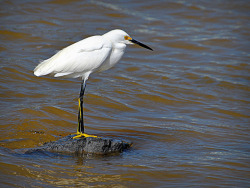 Snowy Egret by Carl's Captures on Flickr.