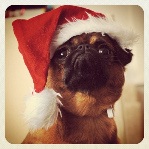 Dora Claus #thedigbydaysofchristmas has become the @dorathegriffon day of Christmas. Ho ho ho! - @digbyvanwinkle- #webstagram