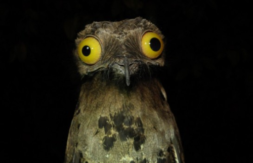 im-a-cyborg-but-its-okay:   The Potoo - Either the most unphotogenic or the most ridiculous looking bird in the world.  I feel it is necessary to have this bird on my blog.