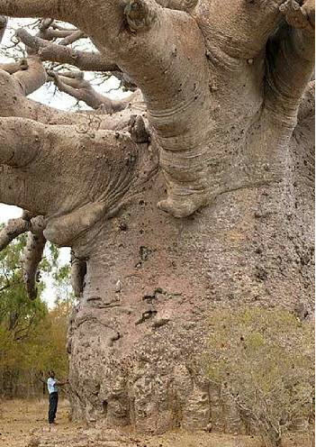 "Hows this for a tree!! The baobab, also known as ""the Tree of Life"" for its vitality and longevity, grows in African and Indian savannas from http://mywiki.ws/Exceptional_Trees"