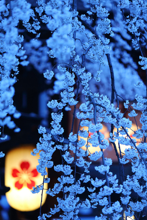 bluepueblo:  Cherry Blossom Night, Kyoto, Japan photo via besttravelphotos