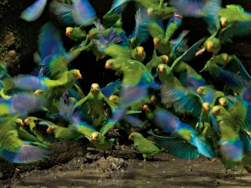 Parakeets, via Tim Laman of National Geographic.
