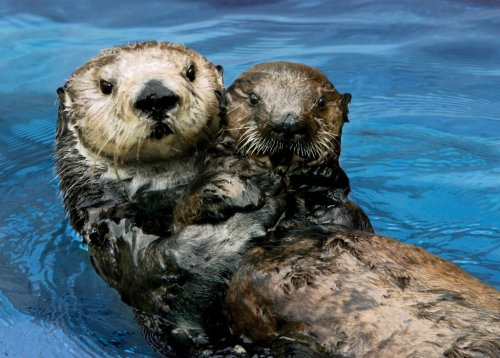 Otter moms may look like they're enjoying life, but—like all moms—they have serious work to do. Ever wonder what's involved? Find out in Countdown to Cuteness!  Check it out via your Desktop.  Via your mobile.
