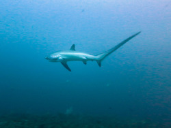 the-shark-blog:  Thresher shark 2 by Raven_Denmark