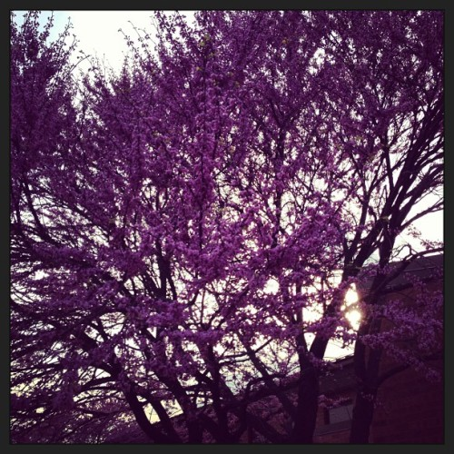Very purple #naperville