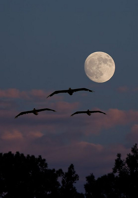 spacettf:  Pelican Moon by www.tropicalphotosbylarson.com on Flickr.