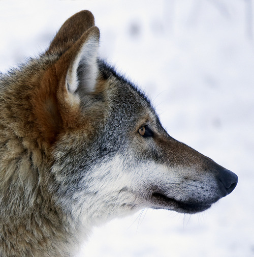 200 wolves will be killed in Sweden by hunters! (by pe_ha45)