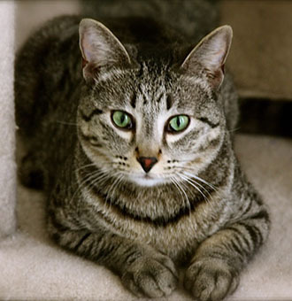 Pets of the Week! Cobra SS#13-12949 1 Year 1 Mo Old Male Domestic Short Hair  Purr!  I am a sweet, gentle boy who loves to be picked up and held like a baby.  Sometimes I can be shy until I get to know you, but once I warm up, I am all yours!  I get along great with most other cats and love to play too.  Come snuggle with me.  Available at the South Bay Pet Adoption Center