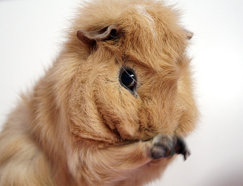 happycavies:  Guinea by The Shabby Bunny on Flickr.