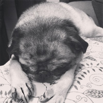 Just trying out #willow  #pet #pug #pugs #puglife #petstagram #pugstagram