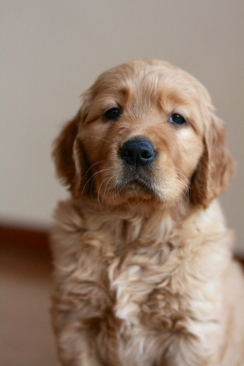 myhorriblegrind:  He is very serious and is thinking of serious puppy things and asks that you take him seriously.