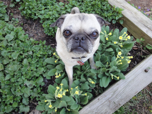 wombatarama:  pug and primroses (by wombatarama)