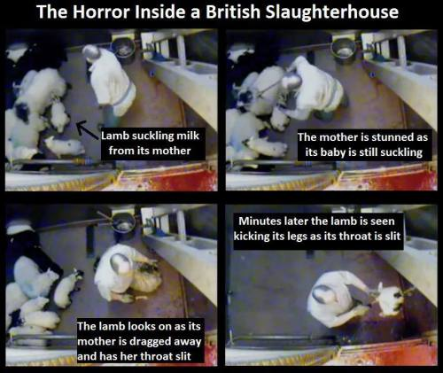 "angryinthebones:  losers-count-sheep:  ""Shocking footage of a sheep stunned as its baby suckled milk from her inside a British slaughterhouse. She and her baby then had their throats slashed.The undercover Animal Aid investigation showed that 8 out of the 9 slaughterhouses in The UK they filmed in were breaking animal welfare laws.There were many bad images including this and pigs being burned in the face with cigarettes, but the worse thing I found was the terror the animals went through. Many of them were acting just like we would if we were in a room watching our friends get killed off one by one knowing we were next. The poor animals can be seen desperately struggling in sheer terror and trying to escape for their lives (in vain of course)."" Source  Reminder: This is only ""shocking"" if you are completely unaware of the reality of animal agriculture. This is normal, standard operation. If this bothers you, stop participating in it."