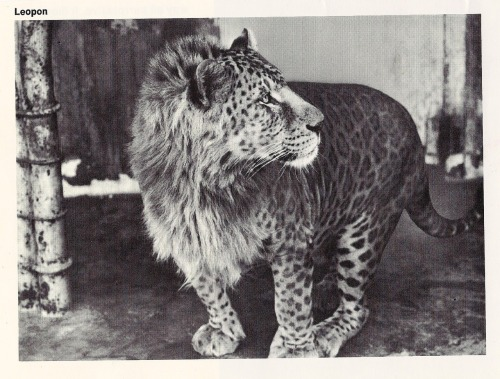 the-absolute-best-posts:  warningdontreadthis: This is a Leopan, it's the offspring of a male leopard and a female lion. This post has been featured on a 1000notes.com blog.