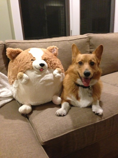 corgiaddict:  Carl's new friend.  Twins!