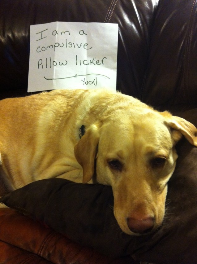 dogshaming:  Abby Hi, my name is Abby, and I am a compulsive pillow lickerView Post  This applies to Lily, as well.