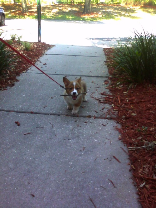 corgiaddict:  Little Fatty Lumpkin with a big stick.  Submitted by Michael