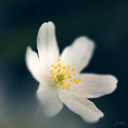 robot-heart:  Wood Anemone (by ~ Maria ~)