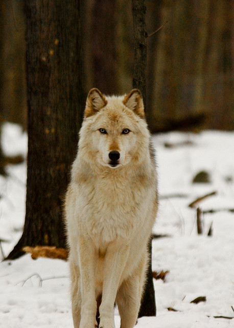 creamio:  Arctic Wolf by RickyNJ on Flickr.