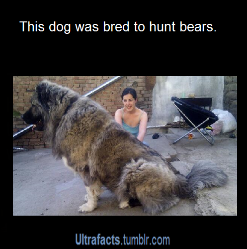 ultrafacts:  littlescooter52:  ultrafacts:  For more posts like this, follow Ultrafacts (Source)  I still need to know what dog this is  It is the Caucasian Shepherd Dog aka Russian Bear Dog. This picture below is just a PUPPY.   surpriseitsnick Can we get one?