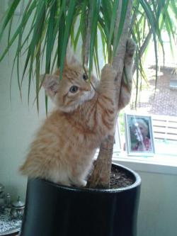 cute-overload:  So my cat thinks he is a monkeyhttp://cute-overload.tumblr.com