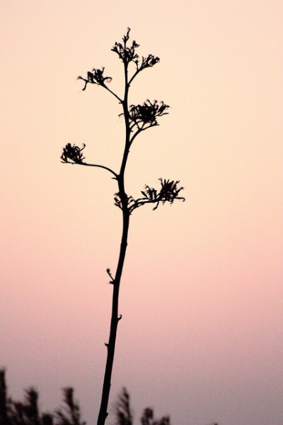 agave sunset on Flickr.