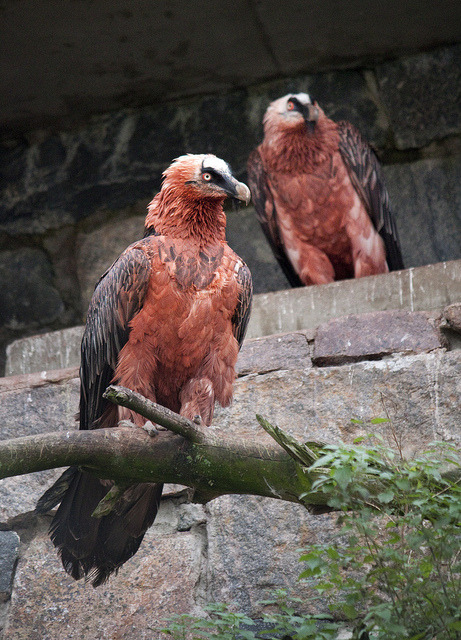 bizpiration:  theanimaleffect:  Bearded Vulture couple by Korkeasaaren eläintarha on Flickr.  Fkn sick!