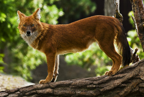 animals-animals-animals:  Dhole (by PictureByPali)