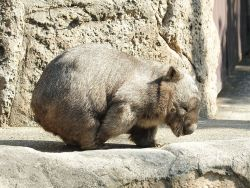ineedwombat:  scratch is happy! wombat [HIROKI] at kanazawa zoo in yokohama, japan. he is 27 years old.  2013.4 撮影