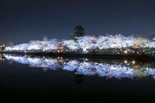 llbwwb:  Cherry Blossoms (by T's Photo(busy・・・))