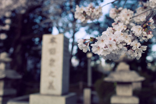 japanesse-life:  Sakura Reien (01) by gaijin_punch on Flickr.