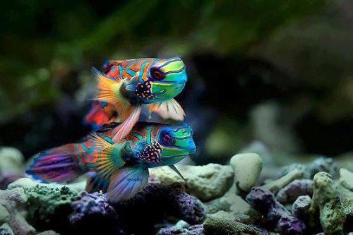 Precioso Pez Fuego. Beautiful Fire Fish. Foto.