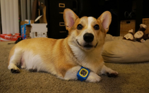 corgnelius:  Have you ever seen anything sillier than a corgi wearing a watch? (HE CAN'T EVEN SEE IT.)