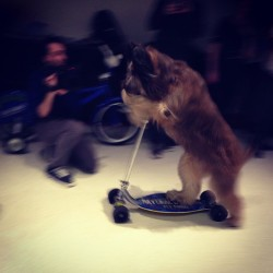 And this, ftw, is a dog on a scooter.  (at AOL/Huffington Post Media Group HQ)