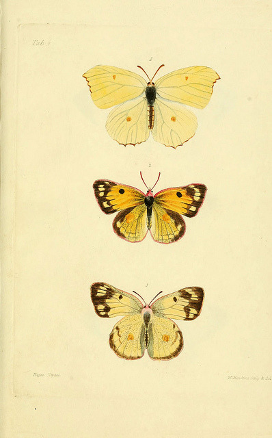 heaveninawildflower:  n28_w1150 by BioDivLibrary on Flickr. Descriptions and figures of some new lepidopterous insects, chiefly from Nepal London :Longman, Brown, Green, and Longmans,1846.