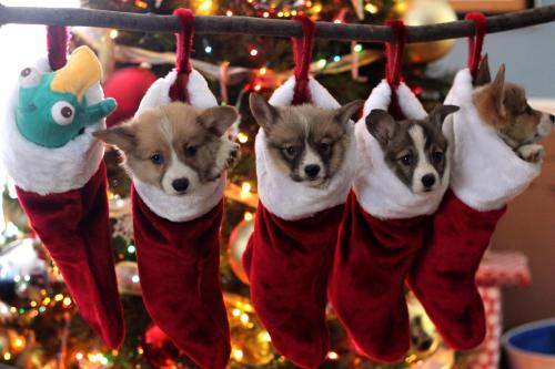 allmannerofnerdery:  fallinginlovegasp:  More Corgi puppies from my Aunt's house! They're too adorable!