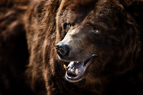animalgazing:  Grizzly Bear by William T Hornaday