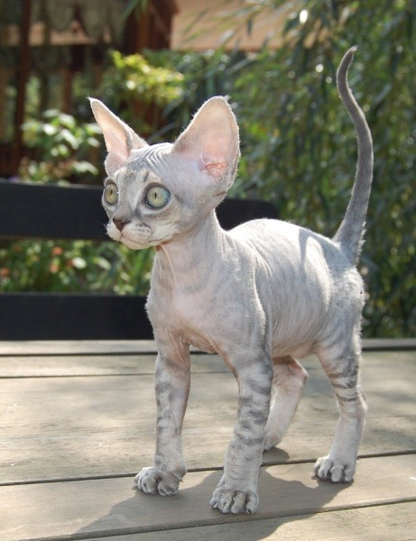 6coffin6cutie6:  I WANT THIS CAT! :D:D