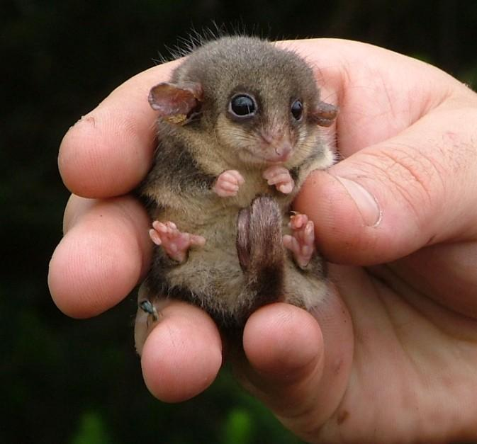 magicalnaturetour:  Eastern Pygmy Possom, Australia by wilddownunder :)