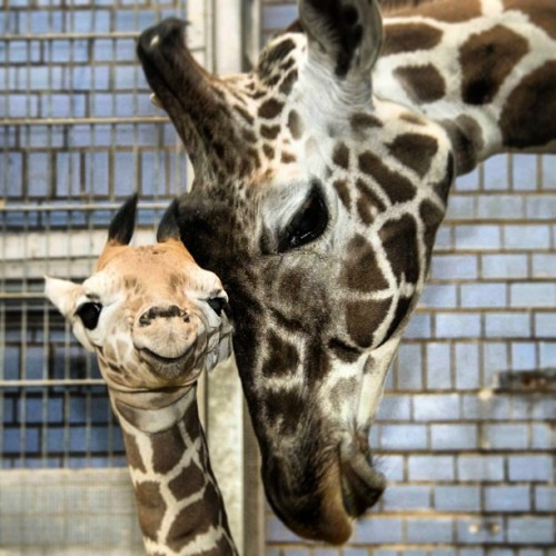 We are so proud on our giraffe cub in #zooberlin!  #berlin #zoo #giraffe #cub #africa by zooberlin http://bit.ly/11aZDT8