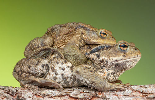 The Common toad (Bufo bufo) in amplexus as part of the mating process. The larger female toad often has to carry the male for days. From head to abdomen the female in the picture is about 95 mm long – the male only 65 mm. Austria. (photo: Bernie Kohl)