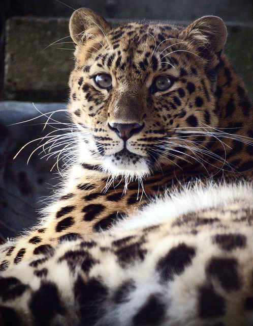 amur leopard by Chris Boulton Photos on Flickr.  You have to follow this blog, it's really awesome!