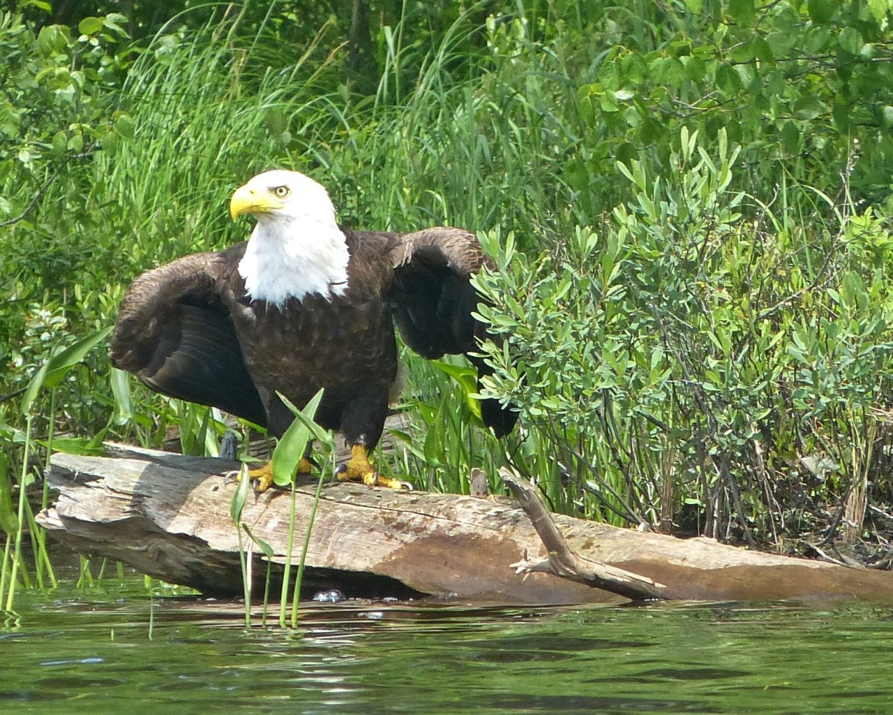 Bald eagle on the Bog River. Photo: Tracy Thomas