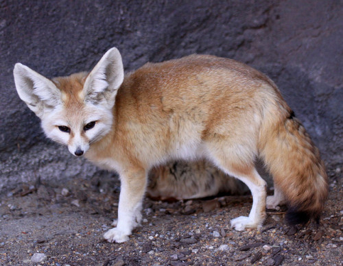 Fennec Fox {Vulpes zerda} by Drew Avery on Flickr.