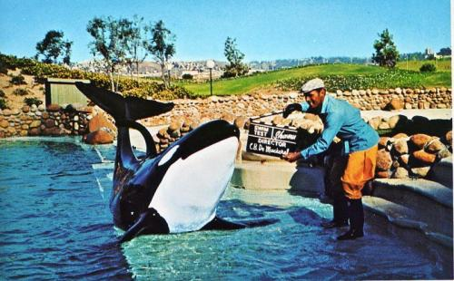 "fightingforwhales:  save-lolita:  Ramu. Male. Wild.Captured Feb 15th 1967Days in Captivity: 5446Date of Death: Jan 12th 1982Age: 18 yearsCause of Death: ""old age""Place of Death: Seaworld Orlando  18? Old age? Screw you, SeaWorld.  He had the body of an old whale when he died despite access to ""restaurant quality food"", medical care, clean water etc… His necropsy reads like a horror story, it includes; Decline in appetite and general health six months prior to death Acute kidney failure two weeks prior to death Skin lesions on dorsal fin and chin Ischemic and pale looking muscles Acute heart congestion with tracheal fluid. Both lungs filled with ""Numerous marble sized lesions"" His heart had ""Numerous baseball sized lesions"" He had a history of heart attacks. Swollen liver Cirrhotic pancreas Lesions around the anus. Very pale Kidneys that looked like they were an ""old animals"" Profuse bleeding around the adrenal glands Swollen and congested thorax Enlarged and bleeding spleen."