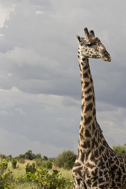 Giraffe by adiaphane on Flickr.