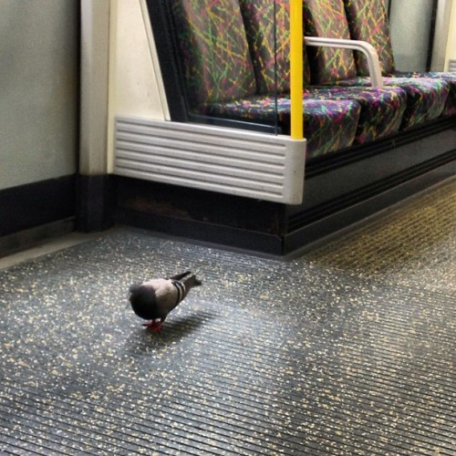 Pigeon on the tube train lol (at Platform 1 & 2)