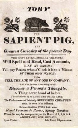 "Learned Pigs Learned Pigs provided a popular form of entertainment throughout the late 18th and early 19th centuries.  The original Learned Pig caused a sensation in London during the 1780s. To the amazement of enraptured audiences, the ""intellectual"" swine would ""by means of typographical cards … set down any capital or Surname, reckon the number of people present, tell by evoking on a Gentleman's watch in company what is the Hour and Minutes; he likewise tells any Lady's Thoughts in company, and distinguishes all sorts of colours."" In 1788 it was reported that the pig had died, however, later conflicting reports announced the pig's return following the 1789 French Revolution, and his readiness to ""discourse on the Feudal System, the Rights of Kings and the Destruction of the Bastille"".  In the 1790s another Learned Pig, the ""Pig of Knowledge"", toured the USA. Its owner described his methods of training the pig by coaxing it, rather than torturing it, which many believed must be the only way to get these pigs to respond. Despite this, the owner was accused of employing witchcraft, with one incredulous spectator declaring that ""his performances were the effects of the Black Art; that the Pig ought to be burnt, and the Man banished, as he had no doubt but…[his trainer] familiarly corresponded with the devil."" The same pig was later exhibited in London where he was advertised as having acquired his knowledge from ""Souchanguyee, the Chinese Philosopher.""  An illusionist in the early part of the 19th century exhibited yet another Leaned Pig by the name of Toby. Toby could ""discover a person's thoughts"", a skill ""never heard of before to be exhibited by an animal of the swine race"" and around 1817 Toby published an ""autobiography"" entitled The life and adventures of Toby, the sapient pig: with his opinions on men and manners. Written by himself. Thereafter, Toby became the standard name for a Learned Pig. [Source: Learned Pig]"
