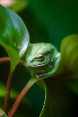 theanimaleffect:  Waxy Monkey Tree Frog (1 Photo) by HollyBerry255 on Flickr.
